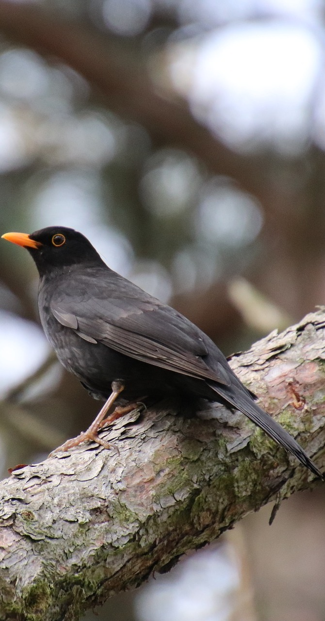 Picture of a common blackbird.