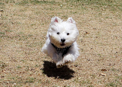 JULS MEGILL PHOTOGRAPHY: WROC picnic (Westie rescue of