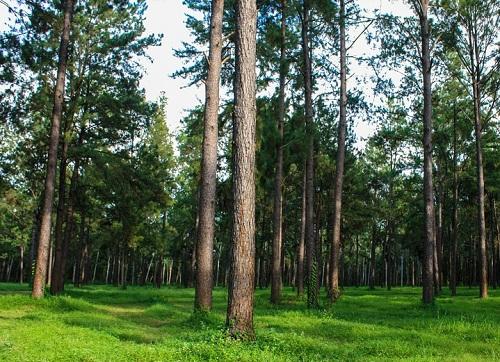Hutan pinus yang berada di pinggiran jalan lembah asri purbalingga
