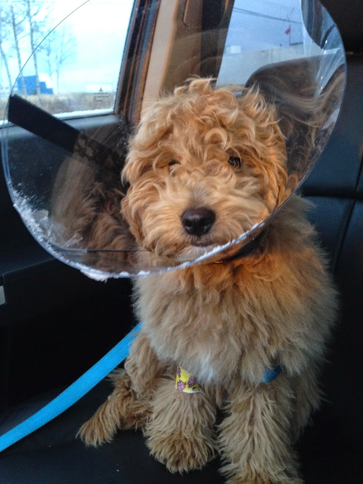 dog cone of shame