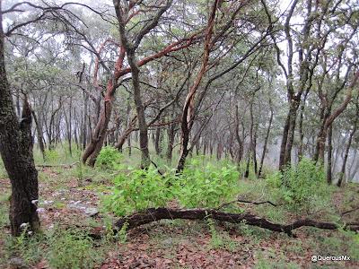 Bosque de encino en el Cerro García