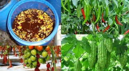 Penggunaan Pupuk Cair Organik, Hasilkan Tanaman Sehat Dan Bermutu Tinggi