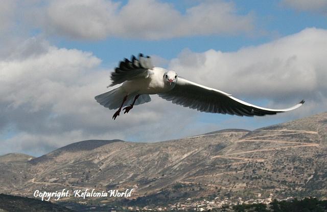 seagull flying, Kefalonia