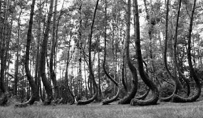 mystery forest from poland (or) Crooked Forest
