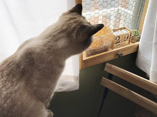 飾り棚を見つめているシャムトラ猫の背中