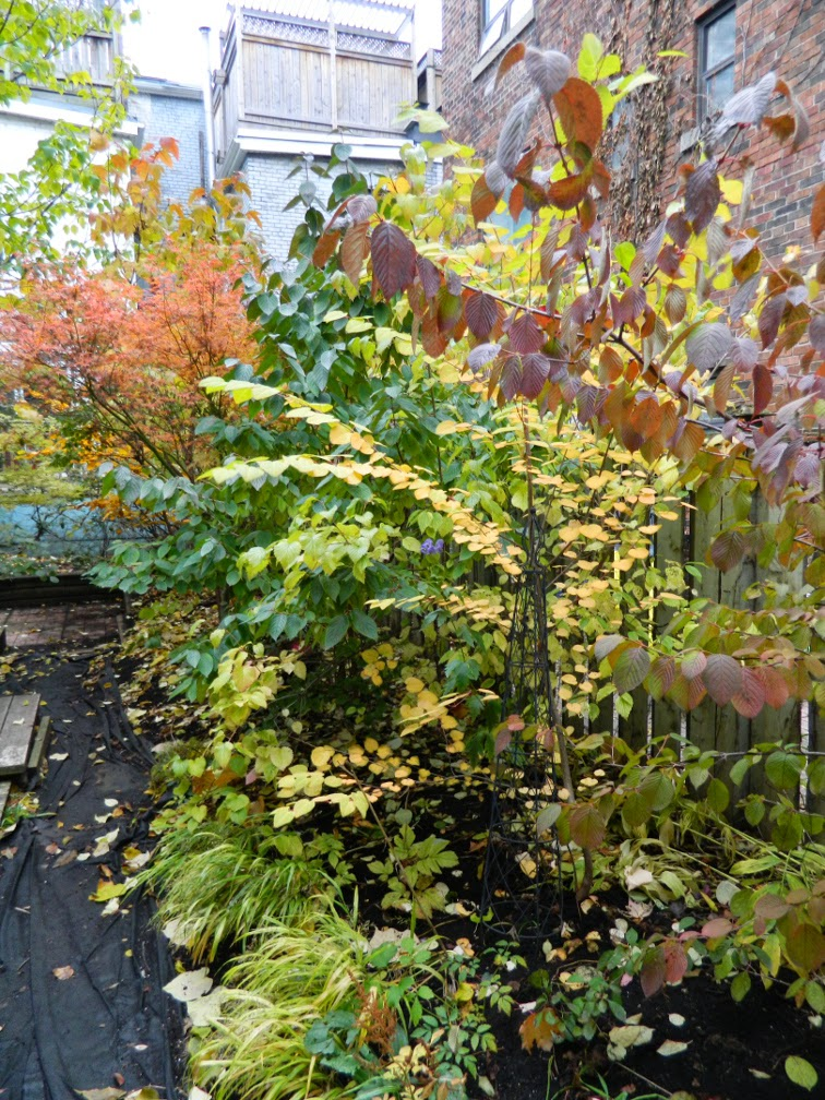 Autumn foliage Paul Jung backyard by garden muses-not another Toronto gardening blog
