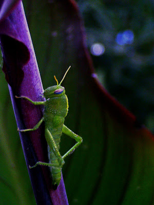 Green Grasshopper on plant