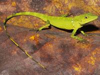 Spesies Baru, Kadal Pseudocalotes dari Sumatra Barat