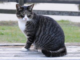 Kucing dark mackerel tabby
