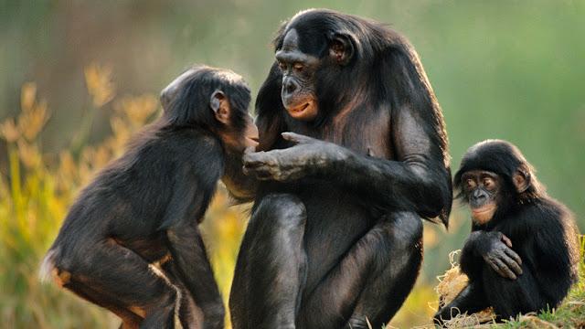 Una especie peculiar: las hembras de estos simios cuidan a sus hijos mientras estos se aparean