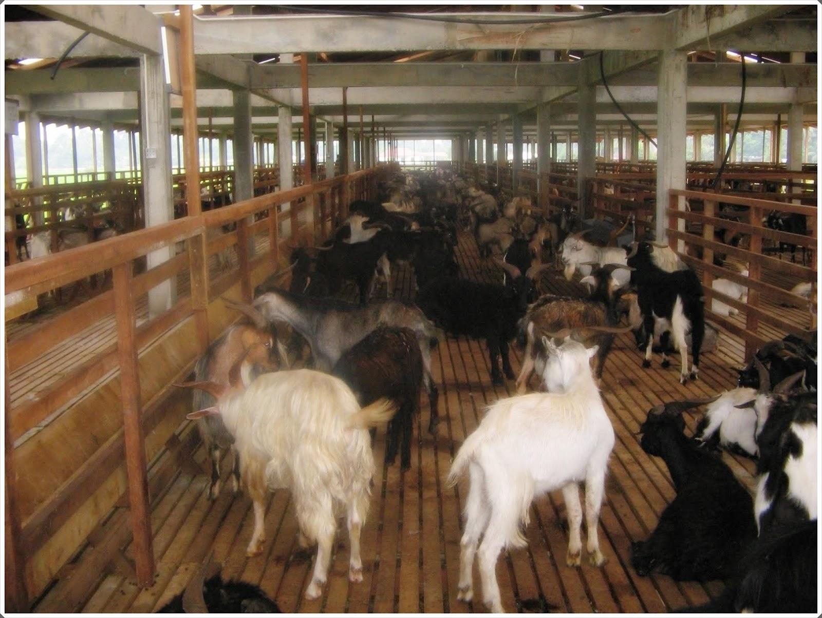 gambar 1 peternakan kambing etawa di blitar