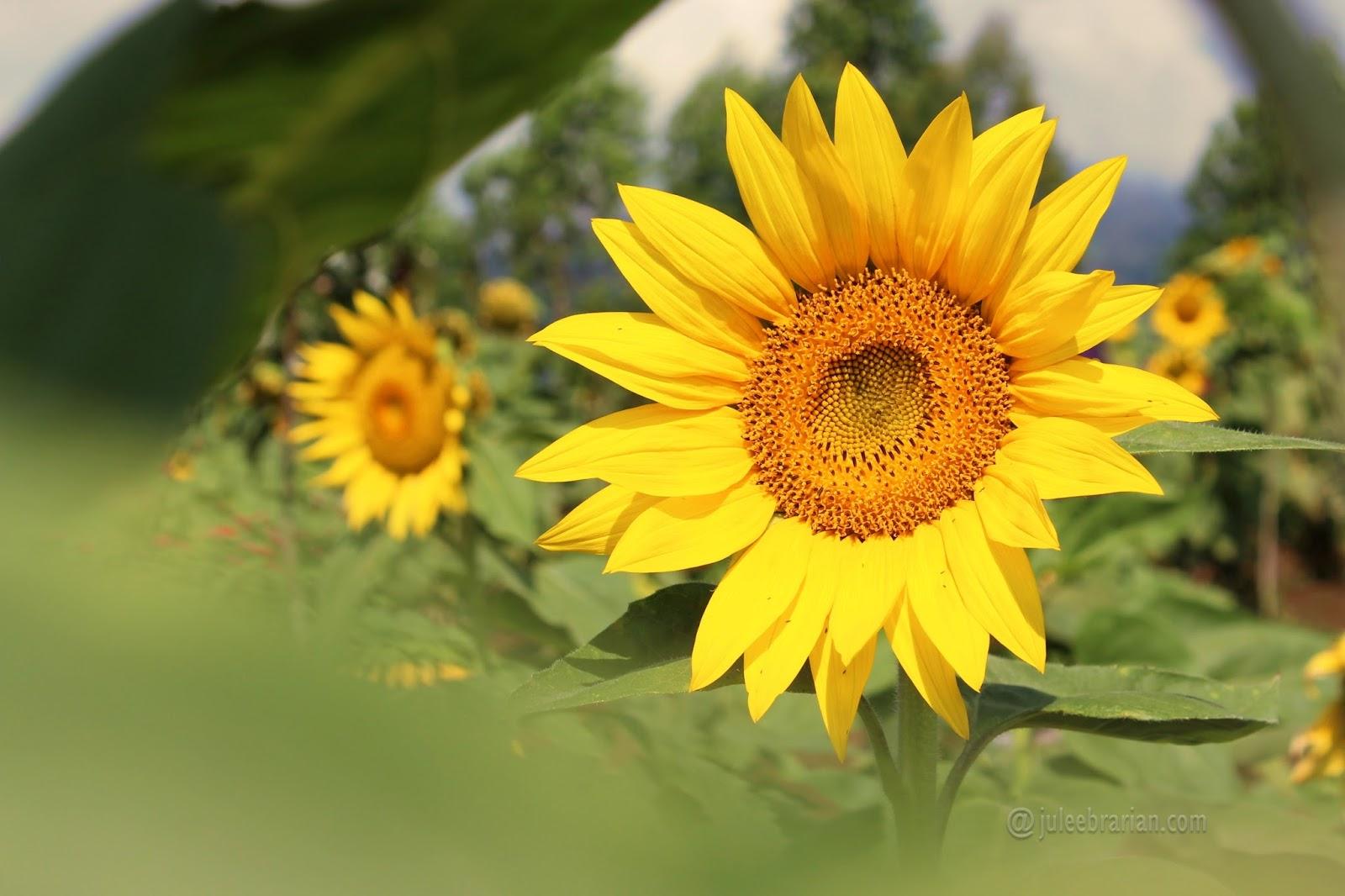 Blog Punya Jule Fakta Fakta Keren Bunga Matahari