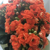 Orange Gypsophila plant