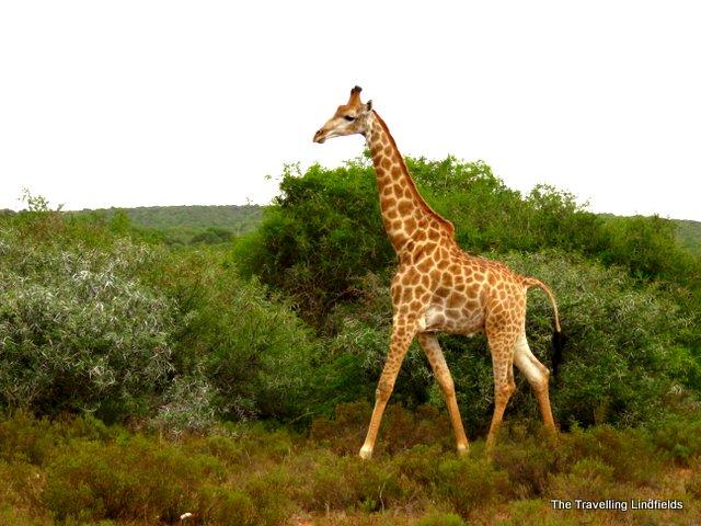 Giraffe at Shamwari