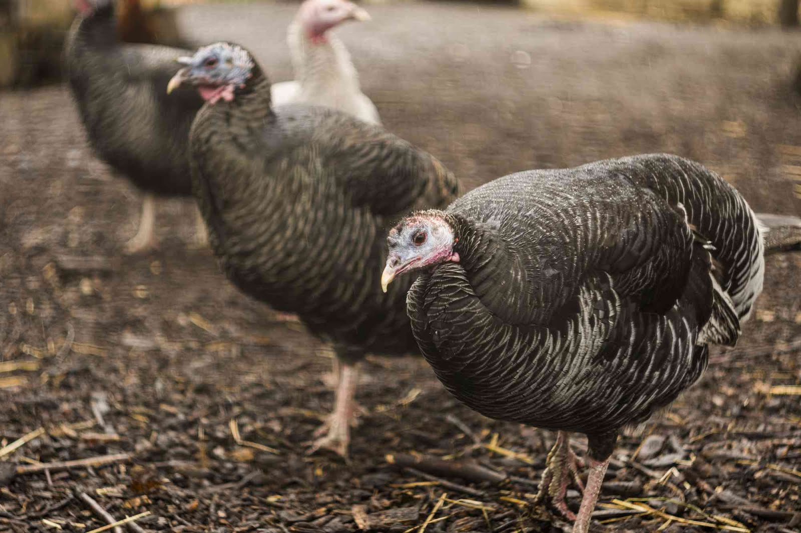 ~Raising Heritage Turkey's~ Are on my dream list.  I hope to have them sometime next year. :)