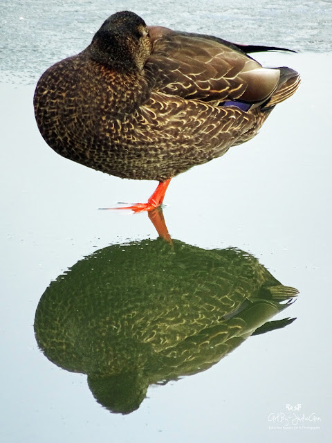 Mallard Hen Reflection On Ice Print
