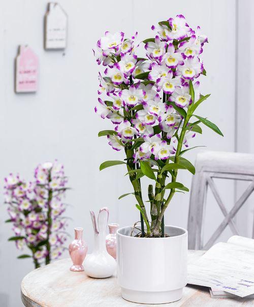 Dendrobium orkidesi