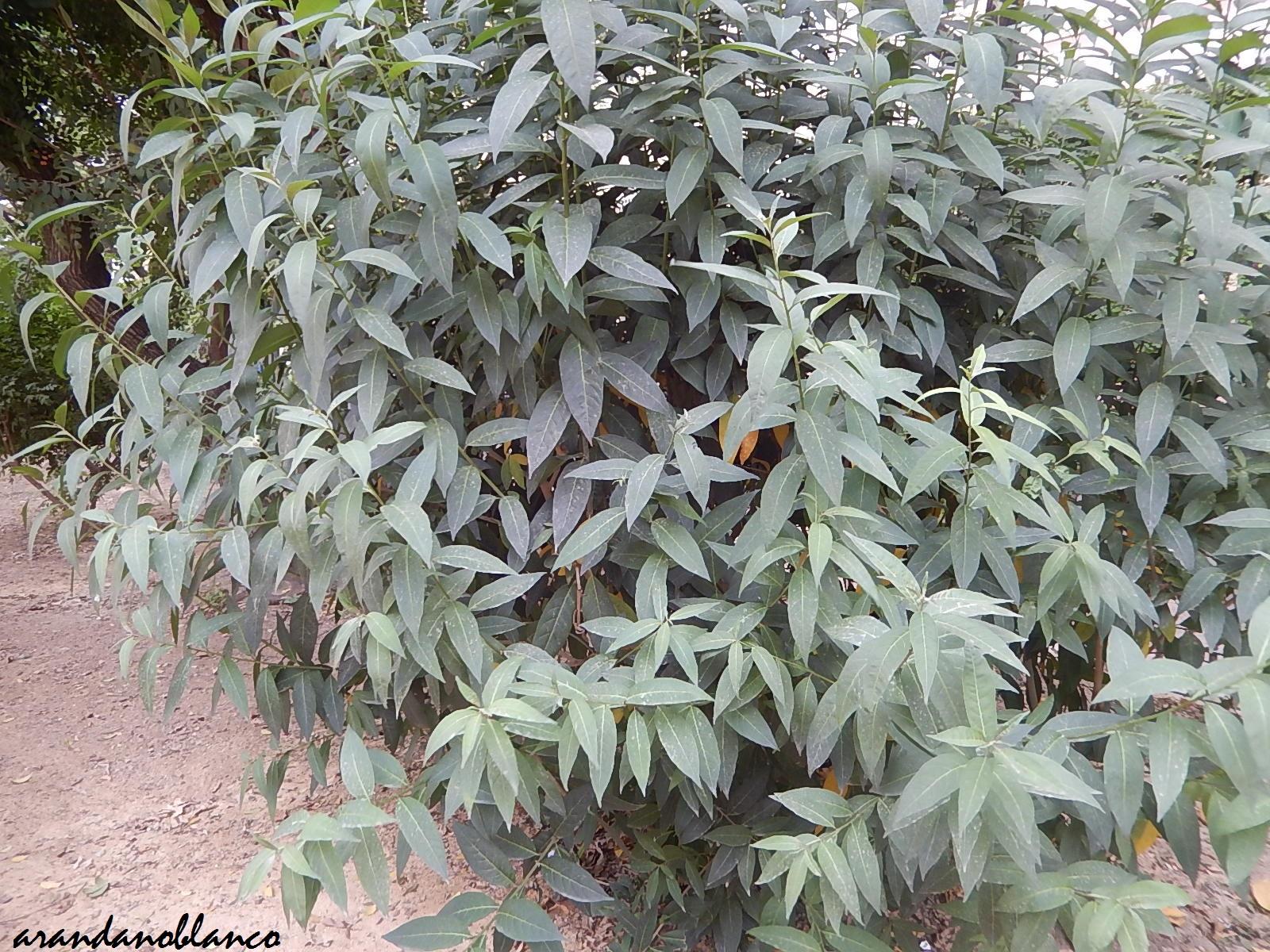 Arbustosensevilla encinarosa buddleja davidii arbusto for Planta ornamental blanca nieves