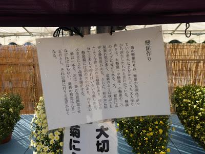 ひらかた菊花展 (岡東中央公園)懸崖作り
