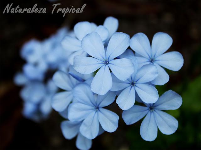 Floración de la flor celestina, Plumbago auriculata