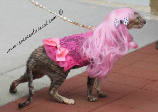 Coco Cornish Rex at Fashion Show in Pink Wig