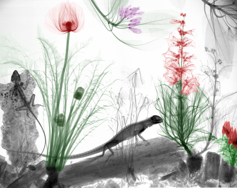 13-Lizards-Arie-van-t-Riet-Colored-X-ray-Photographs-of-Nature-www-designstack-co