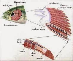 Sistem Pernapasan pada Hewan Vertebrata