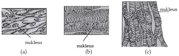 Macam-macam otot (a) otot polos, (b) otot lurik (c) otot jantung