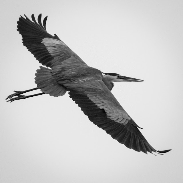 Great Blue Heron, Rollover Pass