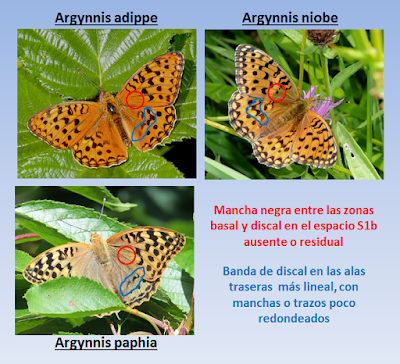 Comparativa de Argynnis adippe, niobe y paphia