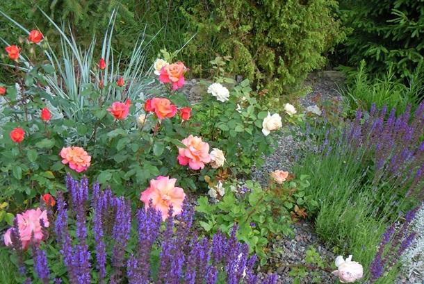 Шалфей и розы