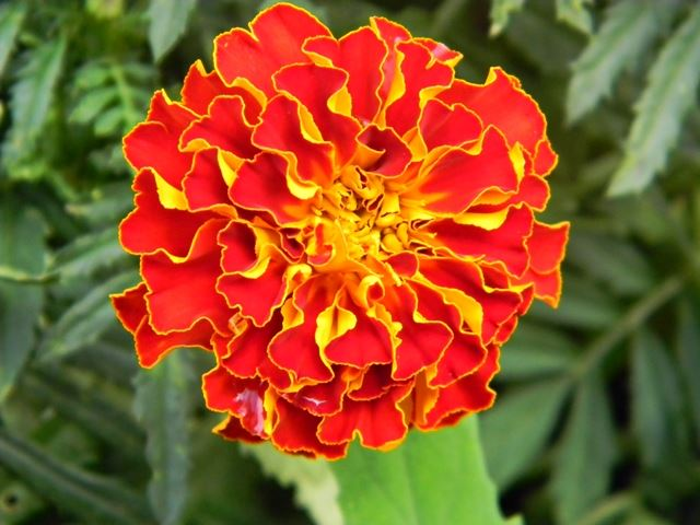 kwiat, pomarańczowy, ogród, koło domu
