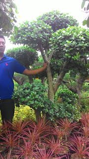 Tukang Taman murah menjual pohon bonsai beringin korea harga nurah