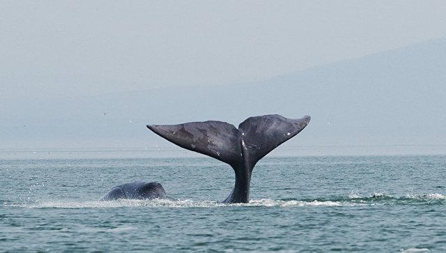 В Хабаровском крае в устье реки застрял 13-метровый гренландский кит