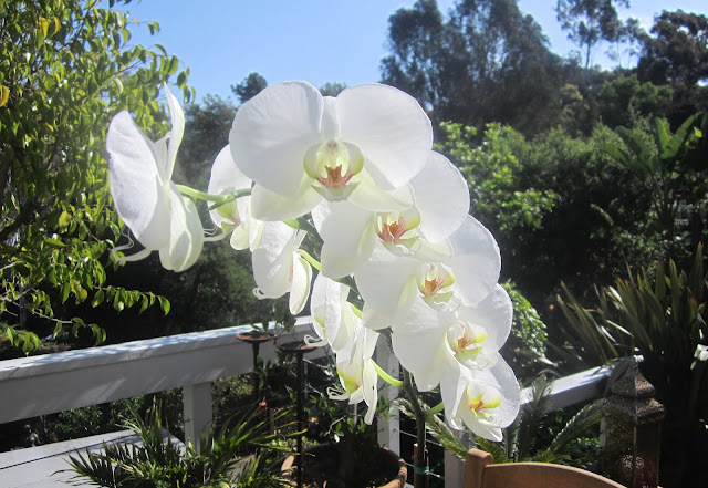 Beautiful white orchids on a patio