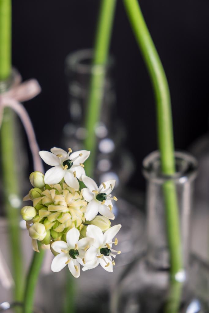 www.fim.works | Lifestyle Blog | weißer Milchstern, Gärtnerschreck in Weiß, Blüten vom Milchstern