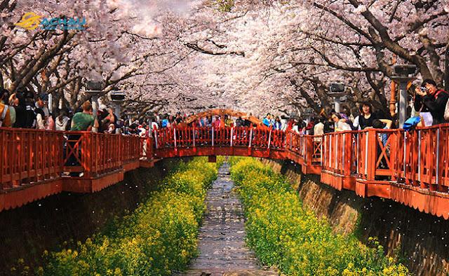 Những địa điểm thưởng ngoạn hoa xuân khi du lịch Hàn Quốc1