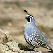 Quail HD images free download