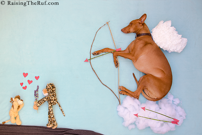 Valentine's Day Dog Cupid funny dog Pharaoh Hound Sight Hound