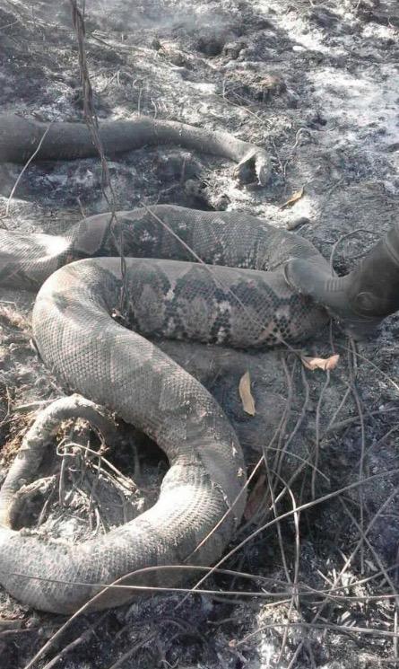 Ular Sawa Batik Ditemui Mati Dalam Kebakaran Hutan