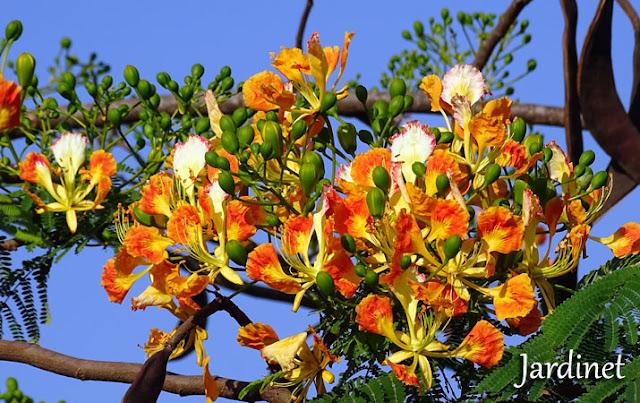 Flores e bagas de sementes do Flamboyant