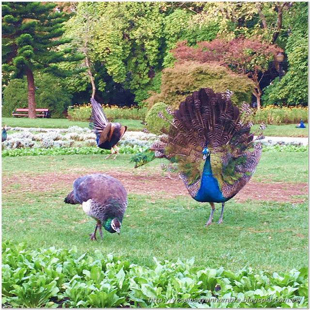 Los pavos reales del parque en plena danza de cortejo