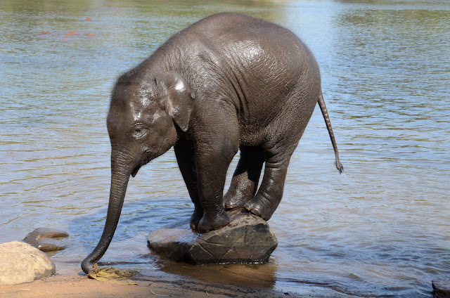 baby elephant on river bank