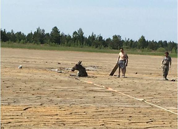 У Житомирській області екологи врятували двох лосів, які застрягли в каоліновій глині
