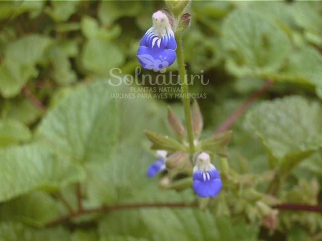 Salvia procurrens  Salvia rastrera