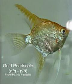 Inilah Jenis-Jenis Ikan Manfish/(Angelfish) Pearlscale