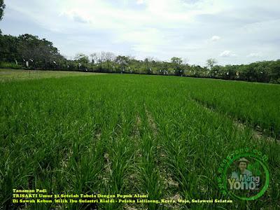 Luar biasa, tanaman padi TRISAKTI sistim Tabela dengan pupuk alami hasilnya dahsyat.