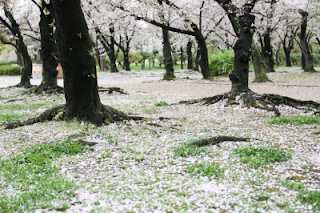 This image, Sakura Cherry Blossom, courtesy of phaendin at FreeDigitalPhotos.net