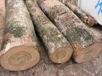 楠の木の丸太