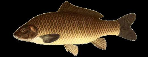 Виды речных и озерных рыб (Сазан)